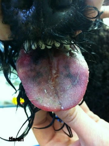First Day: Black discoloration of the tongue indicating tissue necrosis, these parts of the tongue will eventually fall off.