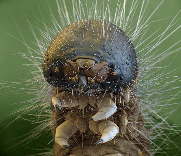 Close up of Oak Processionary Moth Caterpillar