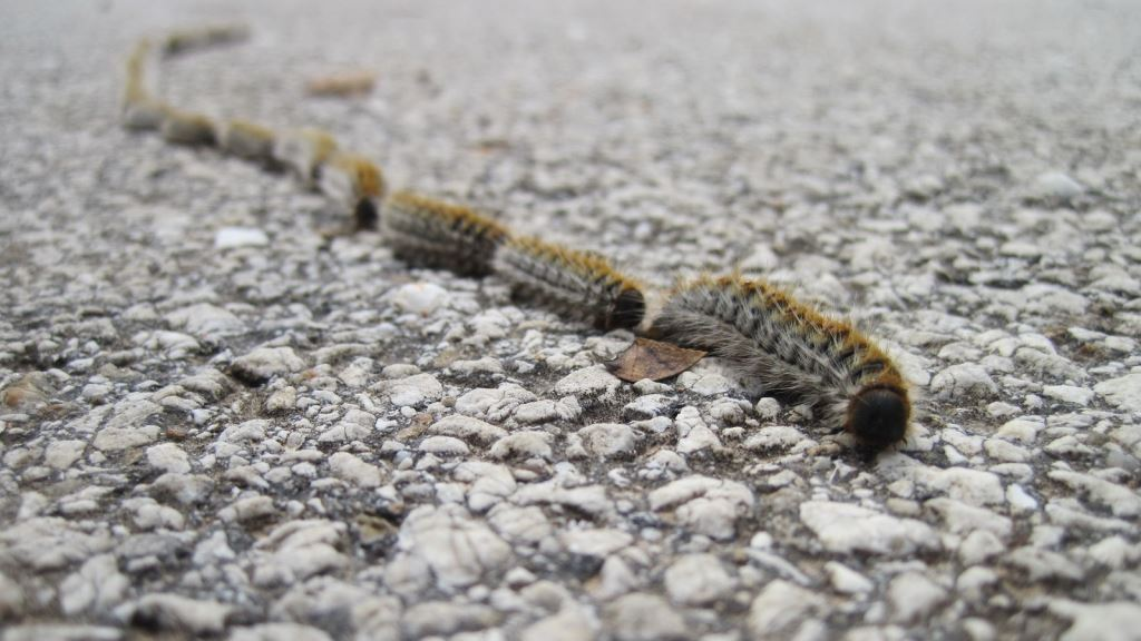 In severly infested areas Pine Caterpillar processions can strech for tens of meters.